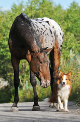 Appaloosa horse portrait in summer and puppy border collie