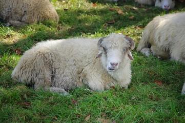 Owca leżąca na trawie