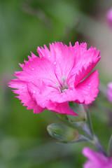 Flower dianthus.