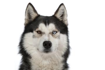 portrait du husky sibérien aux yeux vairons