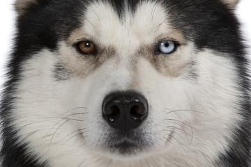 yeux vairons du siberian husky