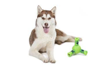 siberian husky allongé de face avec son jouet