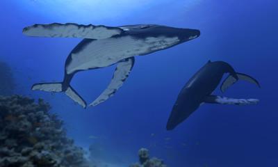 buckelwale im atlantik