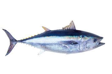 Poster Fishing Bluefin tuna Thunnus thynnus saltwater fish