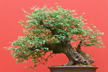 bonsai - Zelkova tree