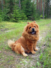 Chow chow in the forest