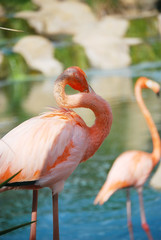 Portrait of a pink flamingo.
