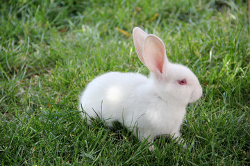 cute little white rabbit and green grass