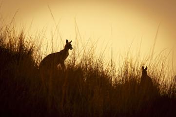 Photo sur Toile Kangaroo Kangaroo Silhouettes