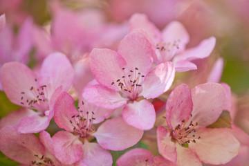 light pink apple blossom