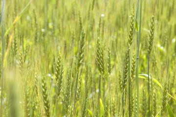 Пшеничное поле