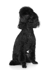 Black Poodle sits on white background