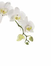 Printed kitchen splashbacks Orchid Ast mit Orchideenblüten