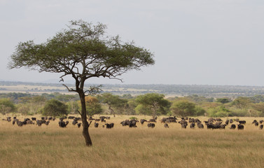 Buffalo Herd in the Serengeti