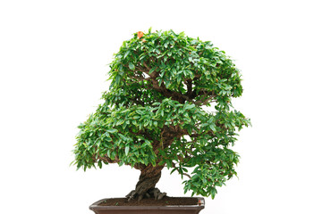 Punica Granatum bonsai tree
