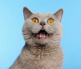 British Shorthair cat, 2 years old, in front of blue background