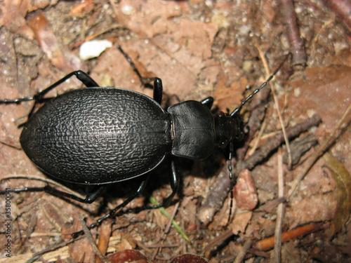 Großer Schwarzer Käfer Bilder : gro er schwarzer k fer stockfotos und lizenzfreie bilder auf bild 35800041 ~ Frokenaadalensverden.com Haus und Dekorationen