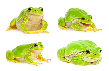 Fototapete - tree frog isolated - collection