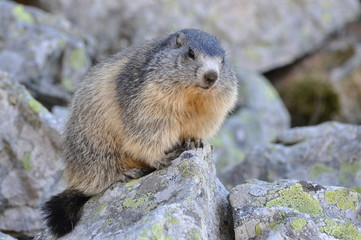 marmotte qui regarde de face sur son rocher