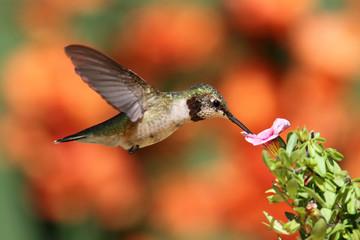 Fotoväggar - Ruby-throated Hummingbird In Flight