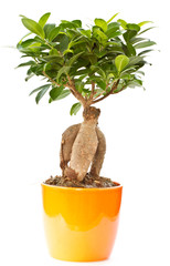 bonsai ficus tree
