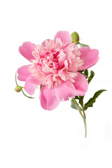 Peony flower closeup isolated on white background