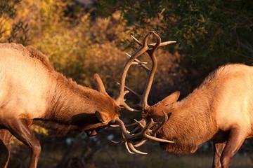 Sparring Bull Elk 82