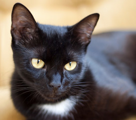 Cute black cat with yellow eyes - focus on eye