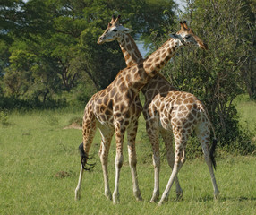 male Giraffes at fight