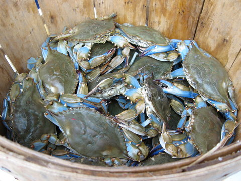 Maryland blue crabs at the market