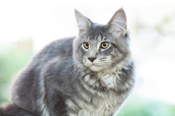beautiful striped maine coon cat in nature