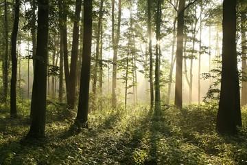 Rising sun enters misty deciduous forest
