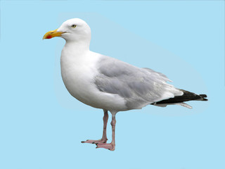 Isolated Herring Gull