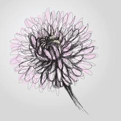 Chrysanthemum / Realistic sketch of flower
