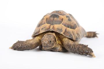 Land turtle isolated on white