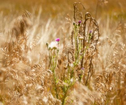 Soft Focus Effect of Purple Weeds