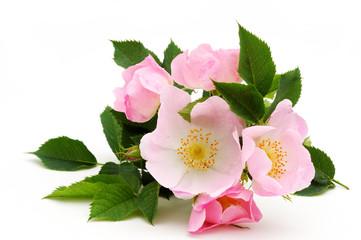 Dog rose blossom