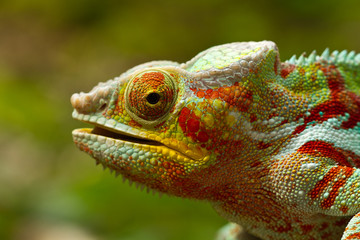 Foto op Aluminium Kameleon Panther Chameleon