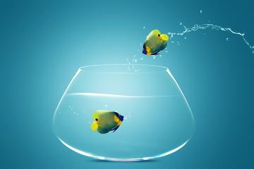 Angelfish jumbing to other bowl