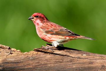 Fotoväggar - Purple Finch (Carpodacus purpureus)