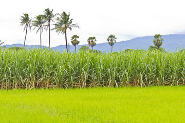 Fototapete - Sugarcane field and rice field