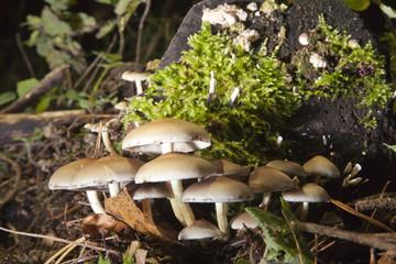 Pilze, Schwefelkopf