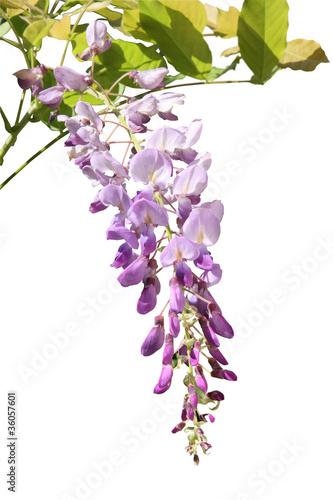 fleur de glycine photo libre de droits sur la banque d 39 images image 36057601. Black Bedroom Furniture Sets. Home Design Ideas