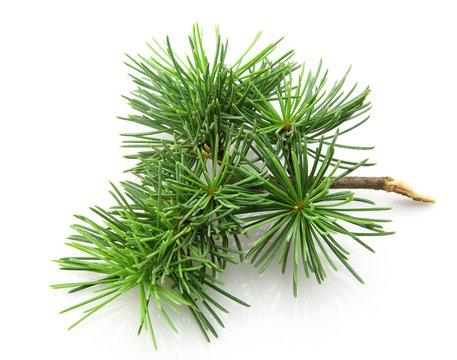 Branch of a young cedar