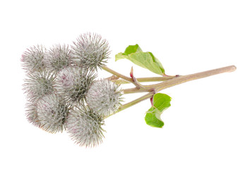 Cluster of Greater Burdock Isolated on White Background