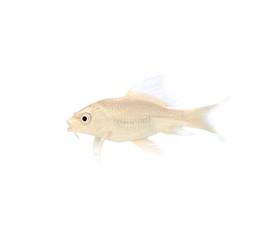 Golden Koi Fish on white background