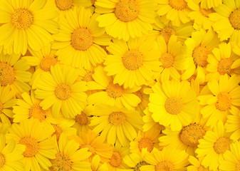 Carpet of yellow chrysanthemums
