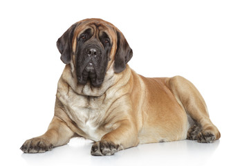 English Mastiff on white background Fotoväggar