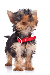 cute yorkie toy standing