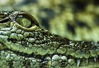 Fotobehang Krokodil Krokodil